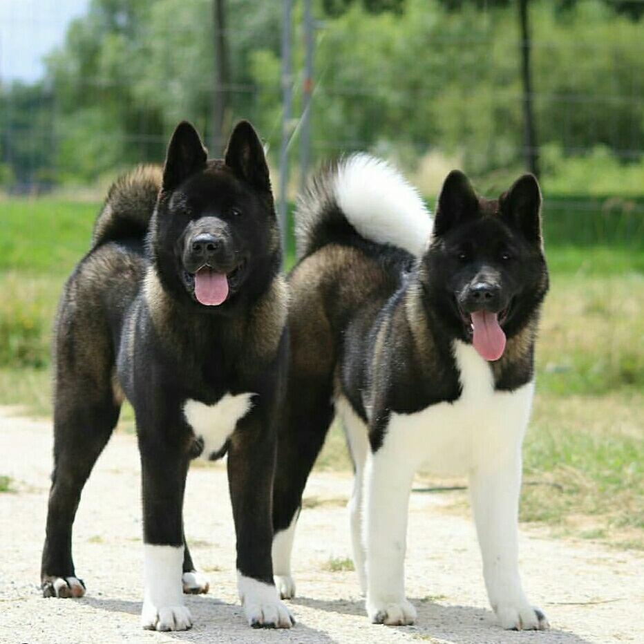 American Akitas American Akita Dog Dog Breeds Akita Dog