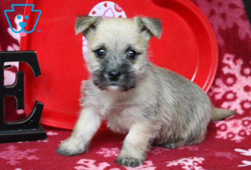 Cookie Cairn Terrier Puppies Cairn Terrier Puppies