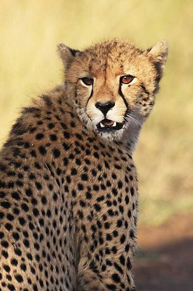 Cheetah In South Africa Kruger National Park Kruger National Park Cheetah Photos Lion King Jr