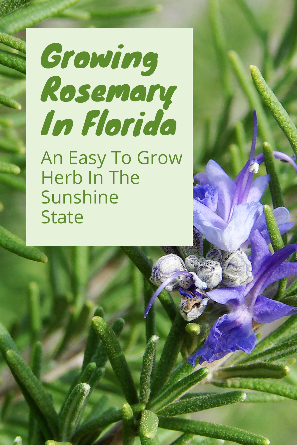 Growing Rosemary In Florida With Images Growing Rosemary