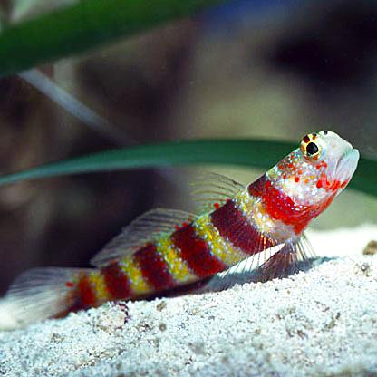Wheeler S Shrimp Goby Family Pet Ocean Animals Fish Pet