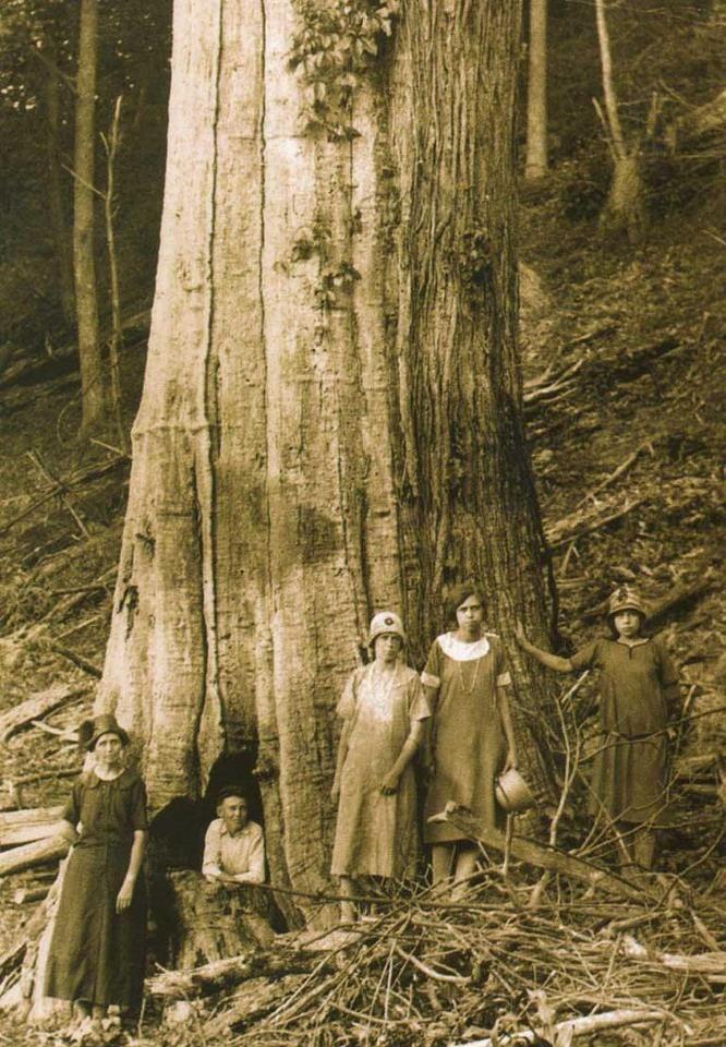 Timeline Photos Sevierville Sevier Cnty Facebook American Chestnut Chestnut Trees Appalachian People