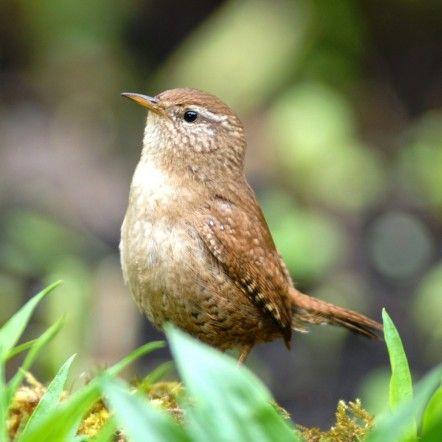 Troglodyte le troglodyte est un oiseau minuscule de for Petit oiseau avec houpette