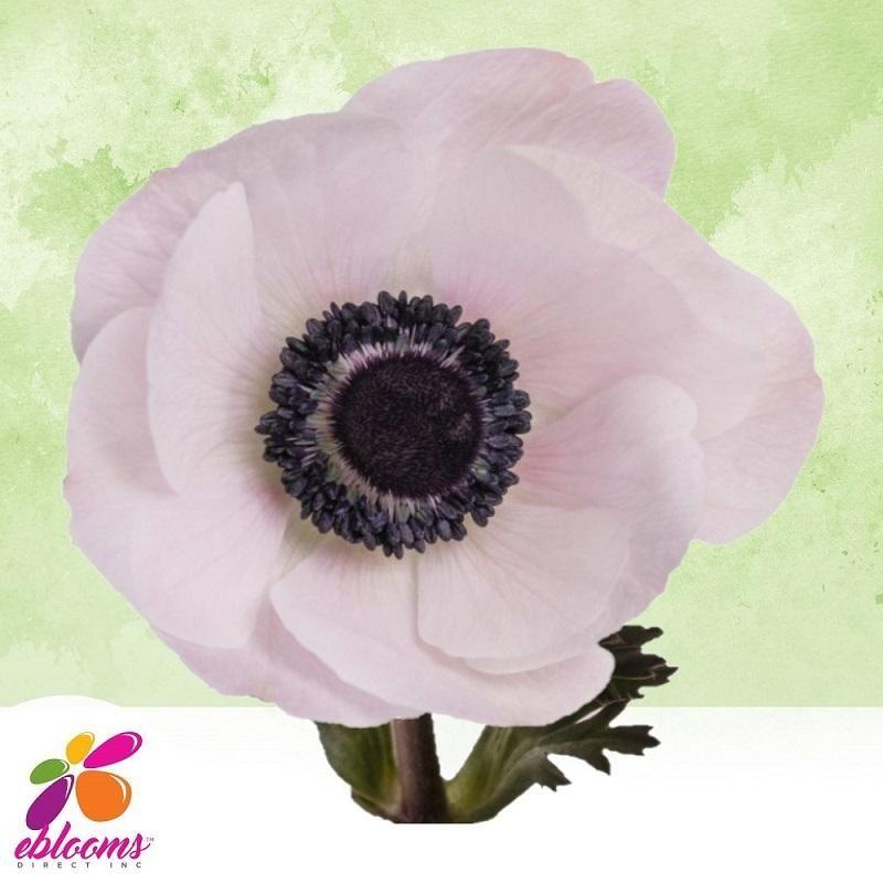 Anemones Blush 40 45cm Pack 120 Stems In 2020 Bulk Flowers Online Anemone Buy Flowers Online