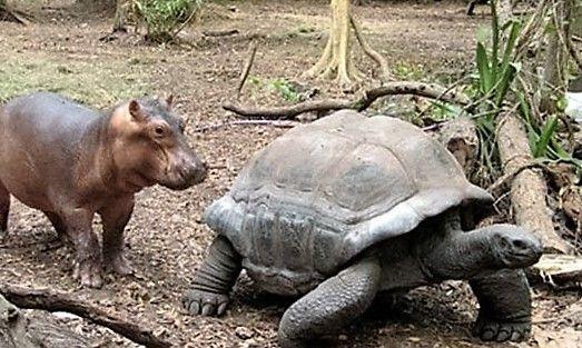 Een heel klein babynijlpaardje en zijn 130-jarige vriend.