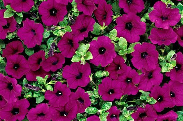 Top 10 Award Winning Hummingbird Flowers Birds And Blooms Purple Flowers Garden Annual Flowers Wave Petunias