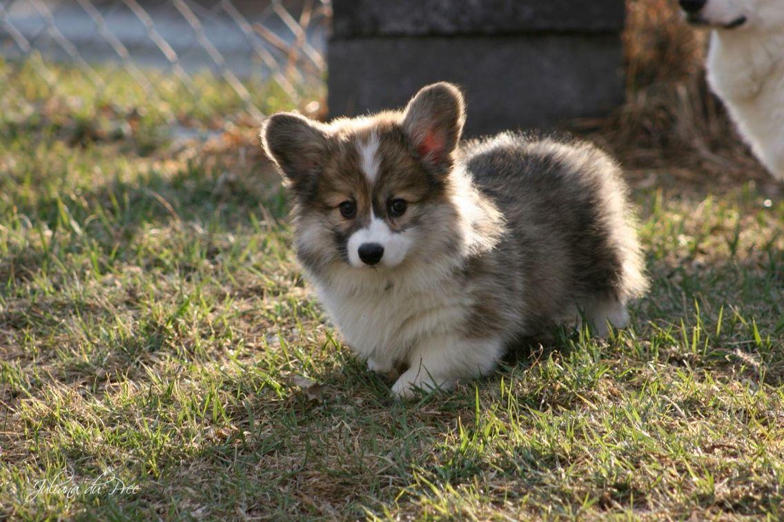Sable Fluffy Corgi Puppy Cuteness Overload Fluffy Corgi Fluffy Corgi Puppies Cute Animals