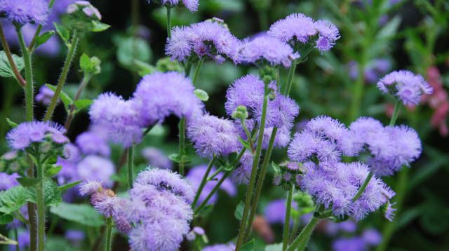Ageratum Houstonianum Blue Horizon Floss Flower Plants Annual Plants Colorful Garden