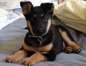 German Shepherd Doberman Cute Animals Dog Friends Pets