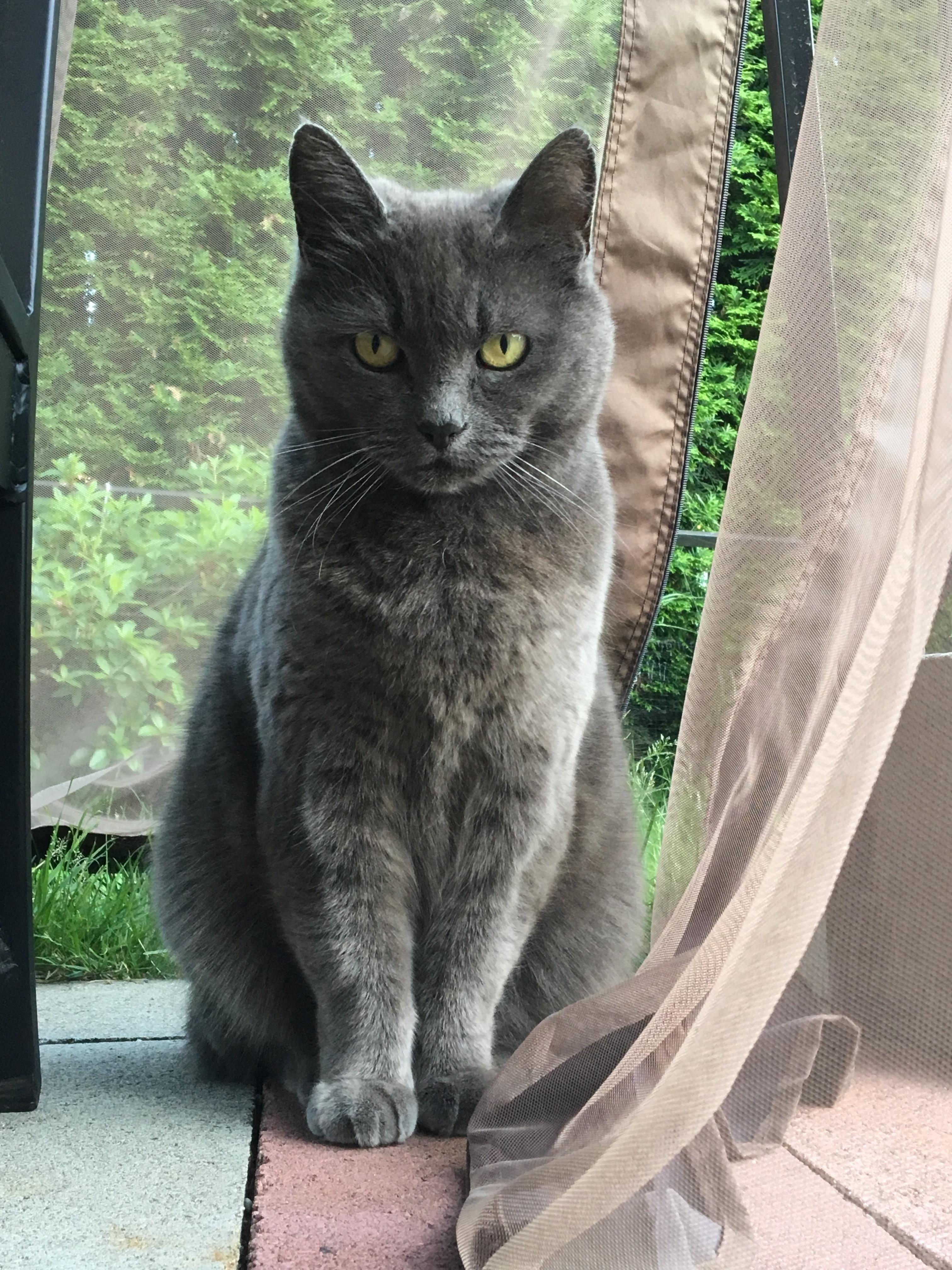 the beautiful gray mishka Cats, Cute animals, Russian