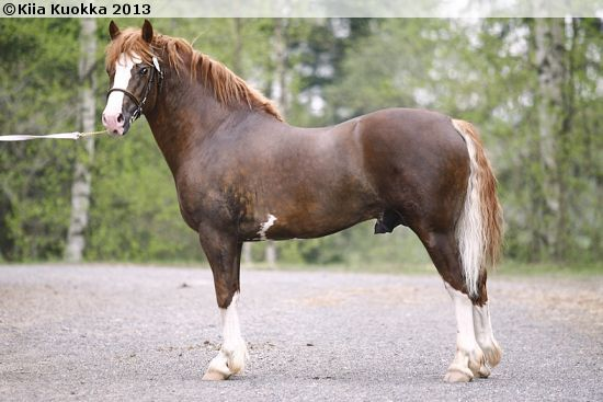 Welsh Cob (section D) - stallion Moondelight Maximilian