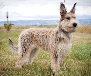 The Berger Picard French Picardy Shepard Dog Breeds Herding