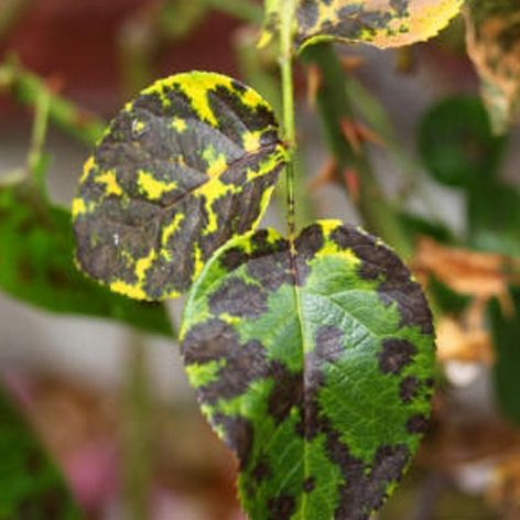 Black spots on the leaves of your rose bushes followed by for Ruggine delle rose