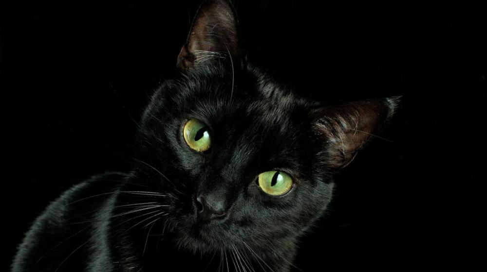black cat Google Search in 2020 Black cat day, Black