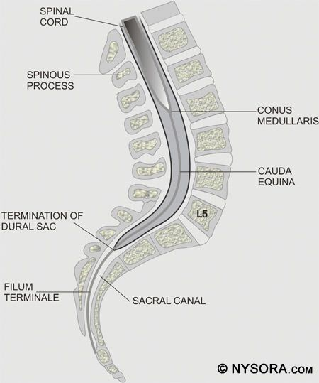 Spinal Cord Ends L2 Dural Sac Ends S2 Spinal Cord Anatomy Spinal Spinal Cord The last portion of the pia mater. spinal cord ends l2 dural sac ends