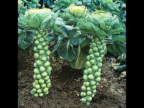 When To Harvest Brussel Sprouts