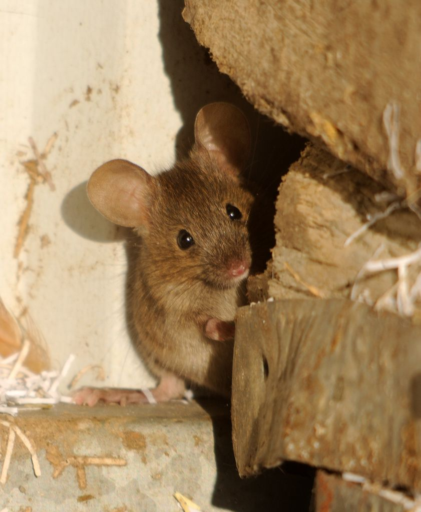 https://flic.kr/p/9wXiLy   House mouse by Amy Lewis  Raider of the chicken pen... (Mus musculus)