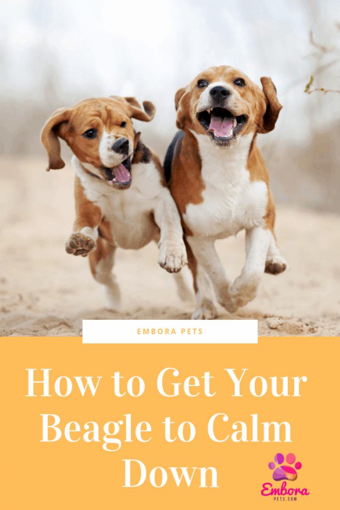 How to get Beagles to Calm Down Beagle, Bulldog breeds, Pets