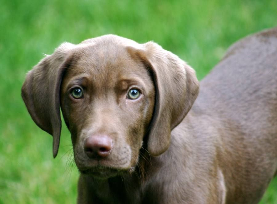 chocolate lab- weimaraner mix oh i want one | melts my