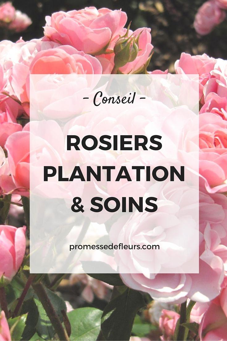 Rosiers comment les planter et les soigner - Comment tailler des rosiers ...
