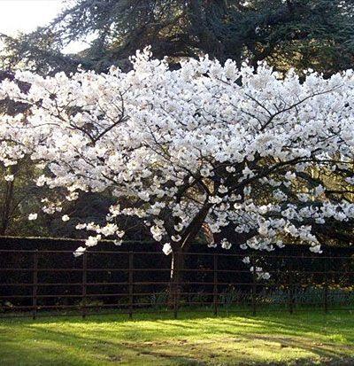Prunus Taihaku Great White Cherry White Flowering Trees Spring Flowering Trees Flowering Cherry Tree