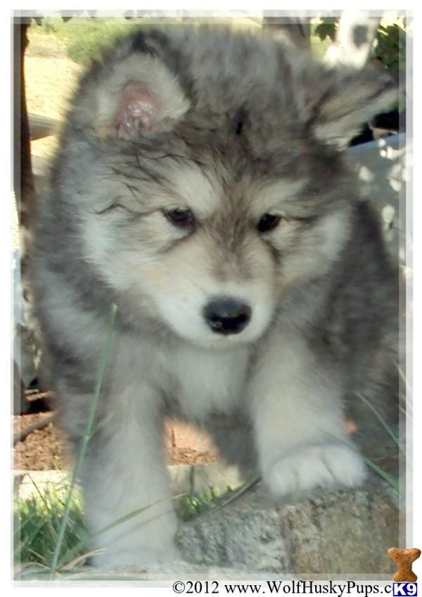 Giant Wolamute Pups Coming Soon 390022 Wolf Hybrid Puppies Wolf Dog Wolf Hybrid Dogs