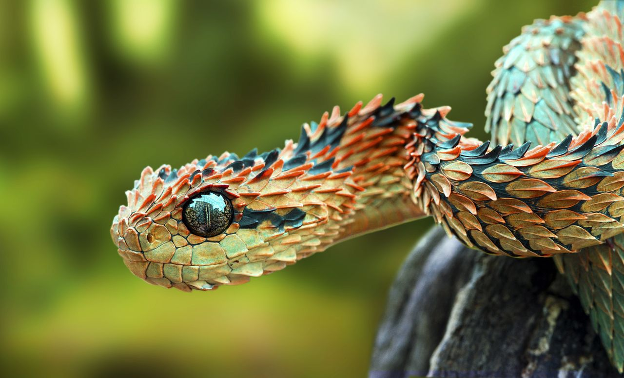 Pin on indonesian snakes