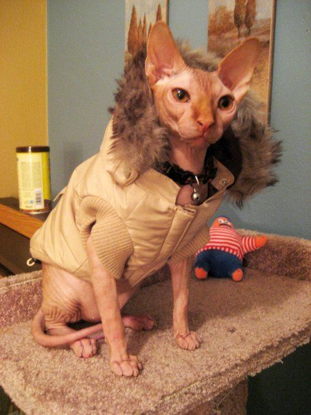 Buy sphynx : Cell phone central conway ar