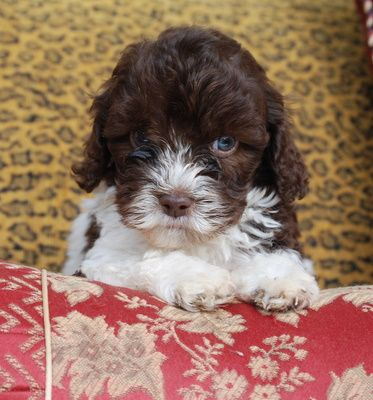 Miniature Chocolate And White Parti Australian Labradoodle Puppies