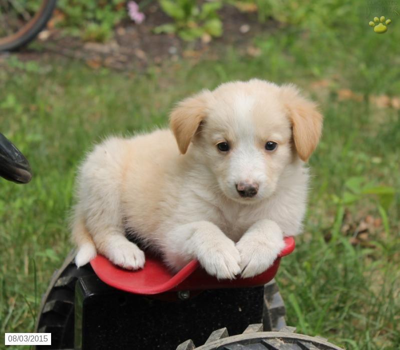 Park Art|My WordPress Blog_Corgi Mix Puppies For Sale In Va