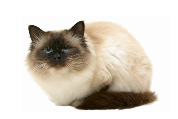 Birman Gentle Active And Playful But Quiet Are Words That Best Describe The Birman Breed They Re Known For Their Cat Breeds Birman Cat Long Hair Cat Breeds