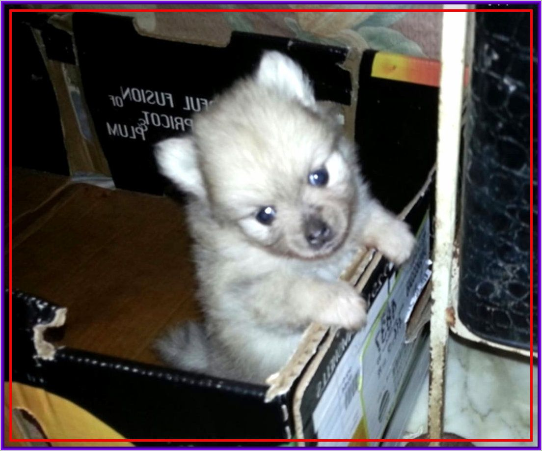 Tags Nbsp Pomeranian Husky For Sale Tulsa Pomeranian Husky Mix