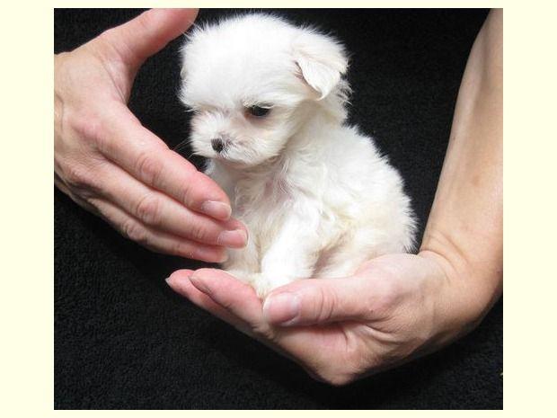 Nette Malteser Welpen Malteser Hund Malteserwelpen Hunde Welpen