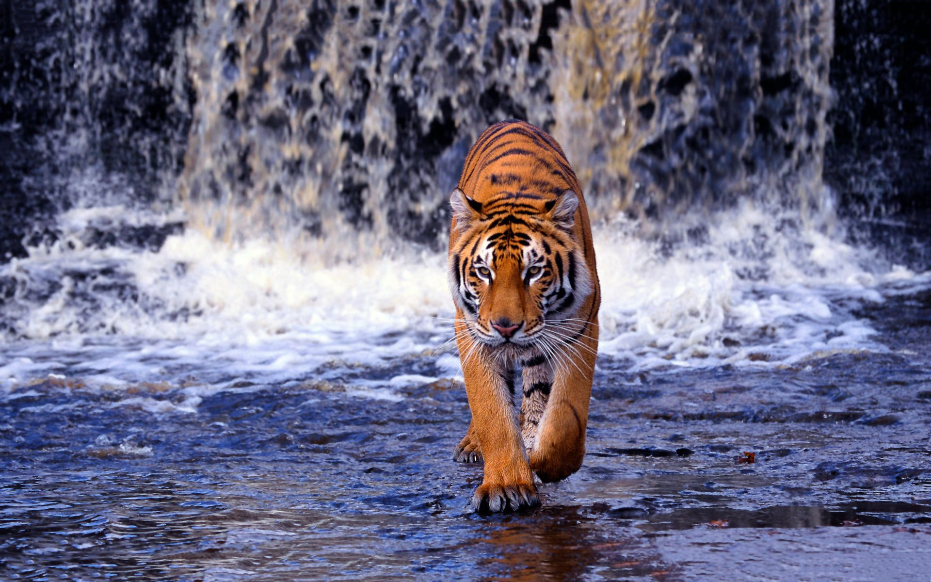 Royal bengal tiger is a great wallpaper for your computer desktop and - Jungle Waterfall Hd Desktop Wallpaper Fullscreen Mobile Dual Hd Wallpapers Pinterest Tiger Wallpaper And Wallpaper