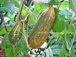Image Result For Kerala Vegetables Plants
