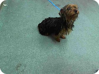 Miami, FL - Yorkie, Yorkshire Terrier Mix. Meet STACY a Dog for Adoption.Facts about STACY Breed: Yorkie, Yorkshire Terrier Mix; Age: Young Size: Small 25 lbs (11 kg) or less; Sex: Female; ID#: 6770847-A1603278
