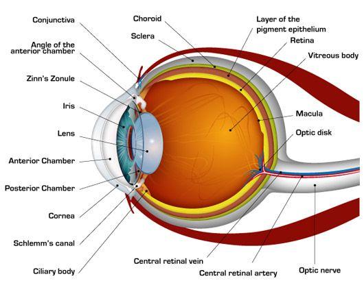 Eye Anatomy Diagram Anesthesia Medical Professions Pinterest