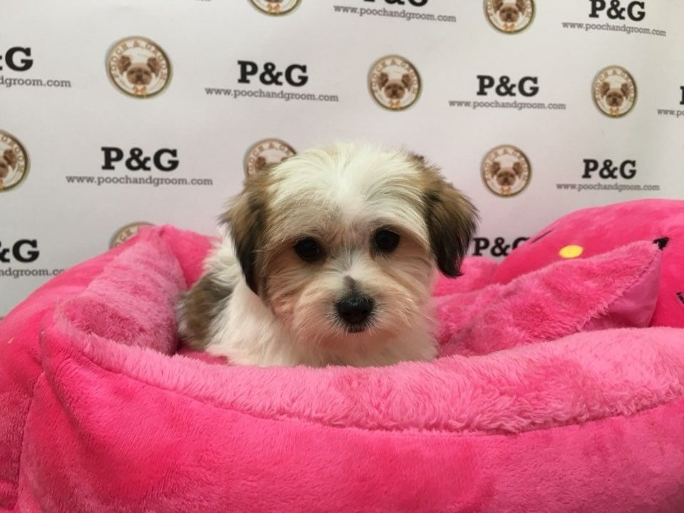 Shorkie Puppies For Sale Temple City Ca 246364 Three Pa Pooches