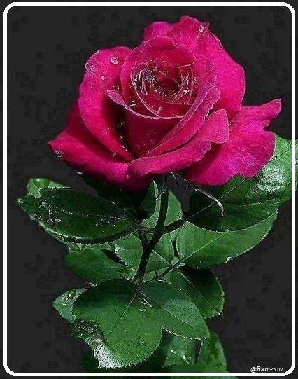 24 Rosas muy hermosas