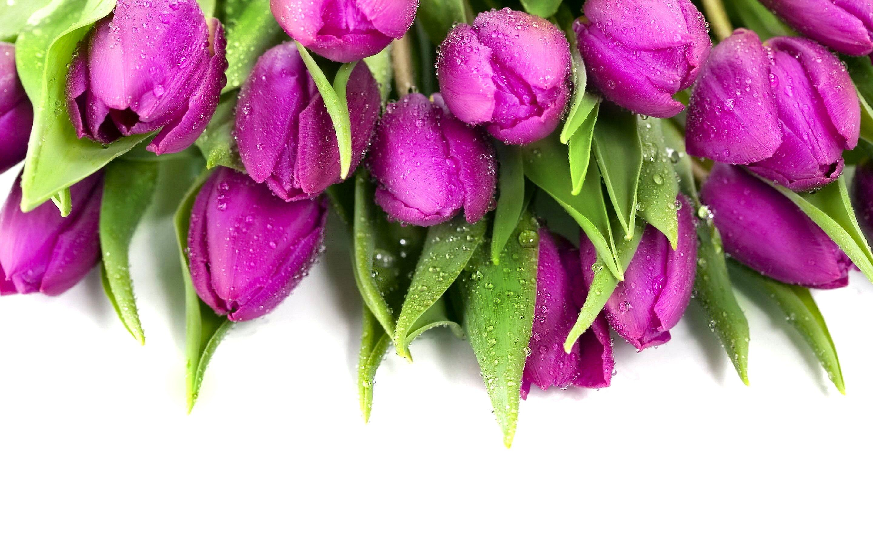 Tulip Wallpapers for Desktop  HD Wallpapers  Pinterest  Purple tulips, Pink wallpaper and 3d