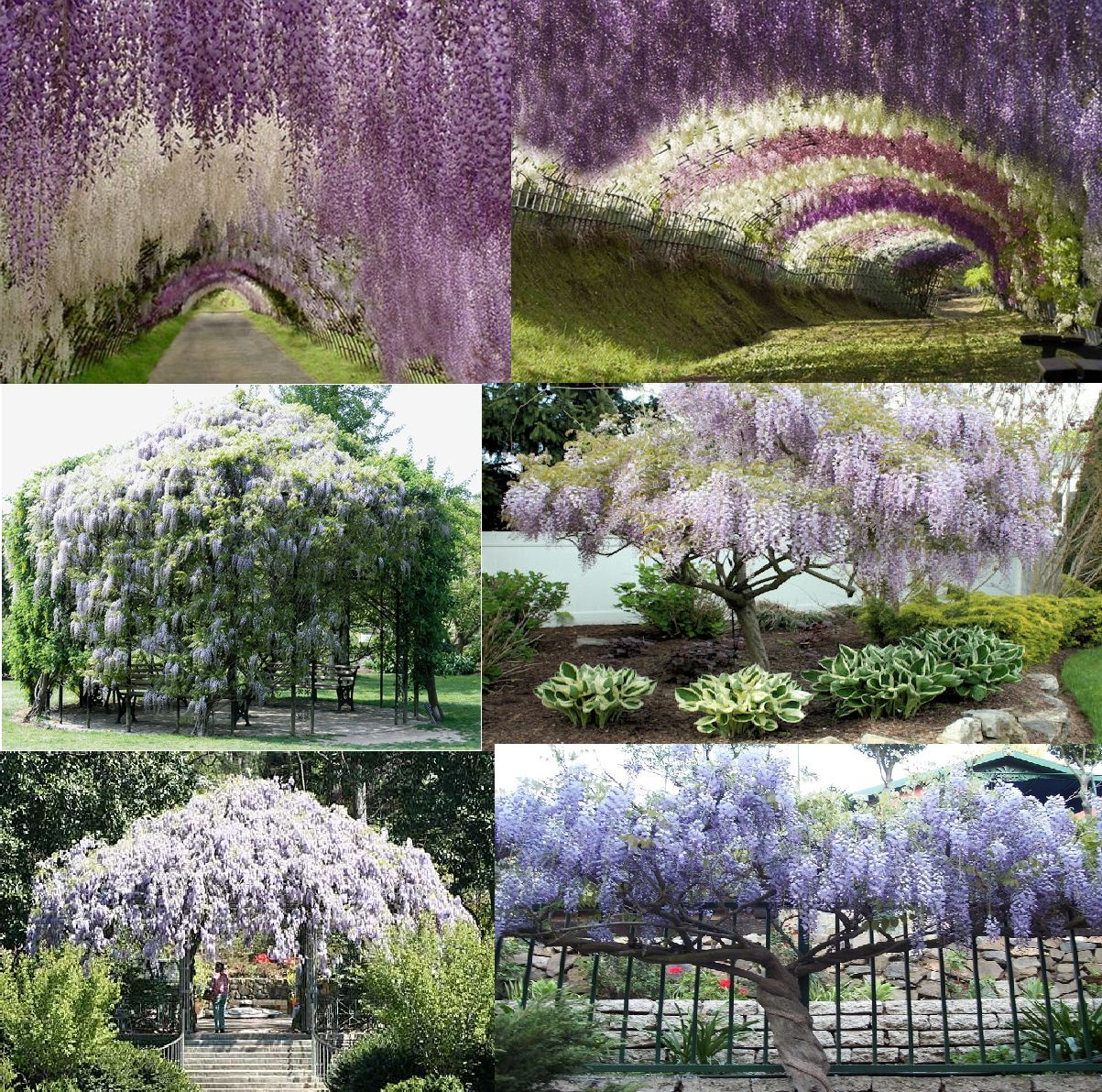 Chinese Wisteria Sinensis Zone 3 9 Full Sun To Full Shade Prefers Sun Any Soil Water Prefers Moist Well Draine Growing Flowers Fragrant Flowers Wisteria