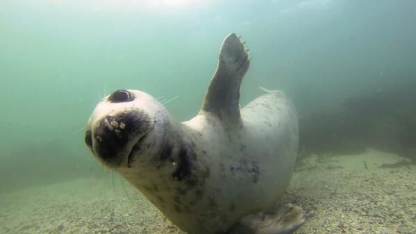 "Animal_Watch ‏@Animal_Watch   ""@SealScotland: .@WhaleFest :)) ""@Sara Kim White: Mid dive and my trusted Dive Buddy stops for a ""High 5"""