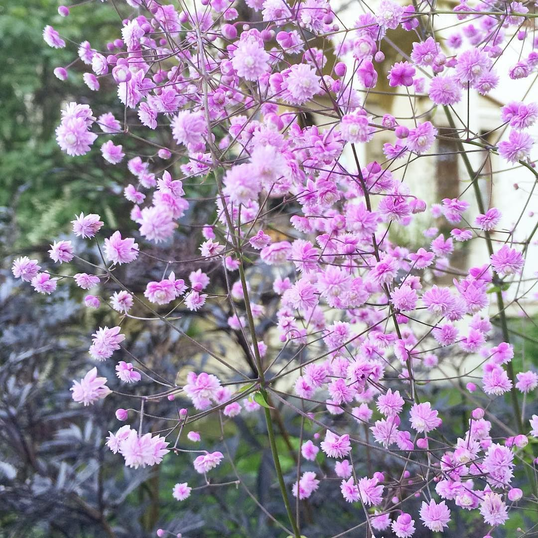Thalictrum delavayi 'Hewitts Double' photo Charlottegardenflow