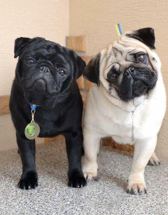 Just Two Pugs Living The Bailey S Cbd Pug Life Pugs