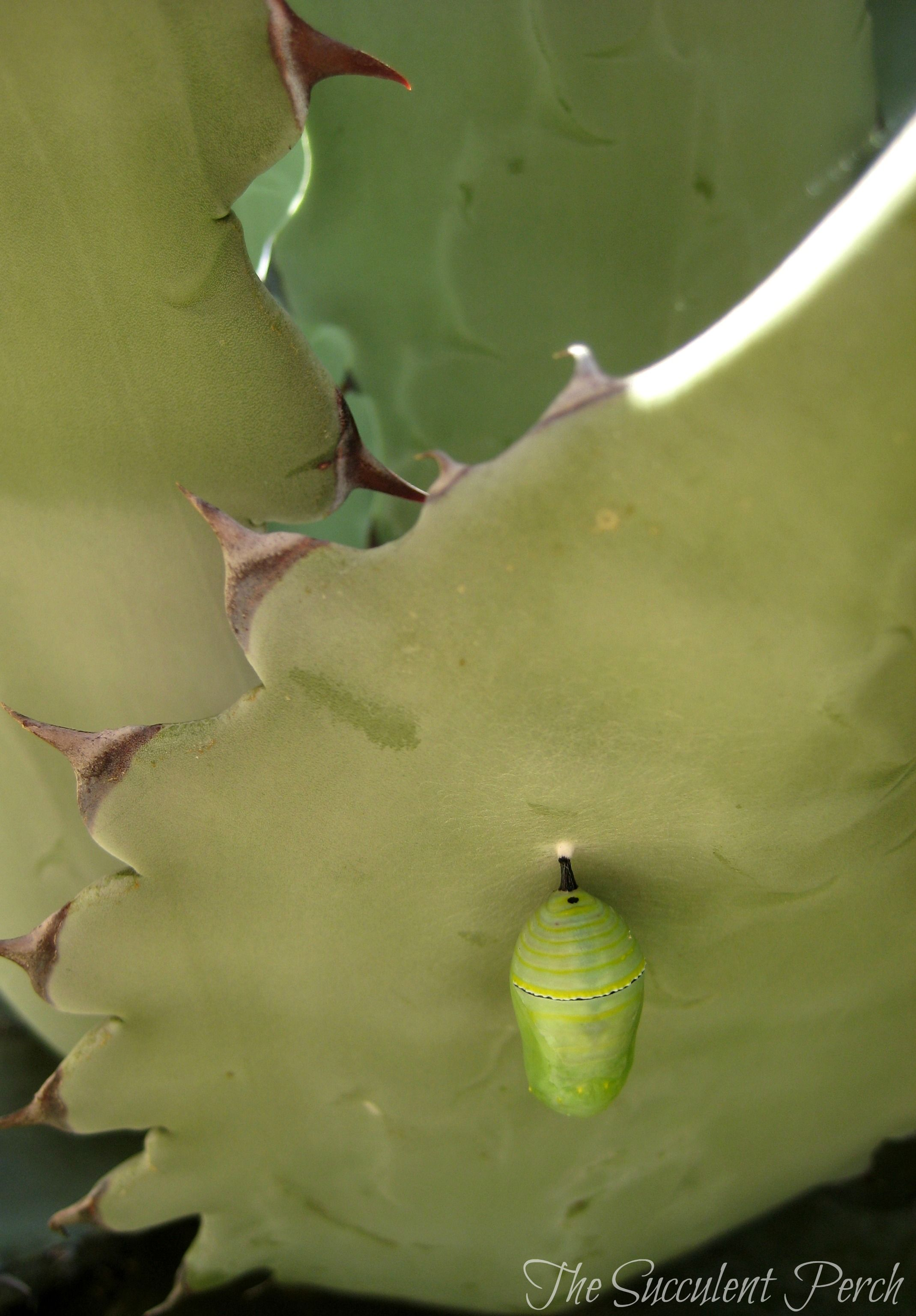 monarch butterfly chrysalis on an agave gardens with succulents