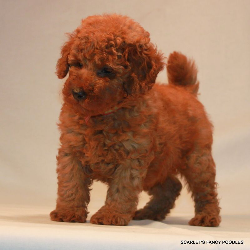 Mini Red Poodles For Sale Akc Poodles Scarlet S Fancy Poodles Red Poodles Poodle Puppies For Sale Poodle