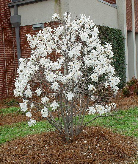 Magnolia Stellata Star Magnolia Bush Garden Magnolia Stellata