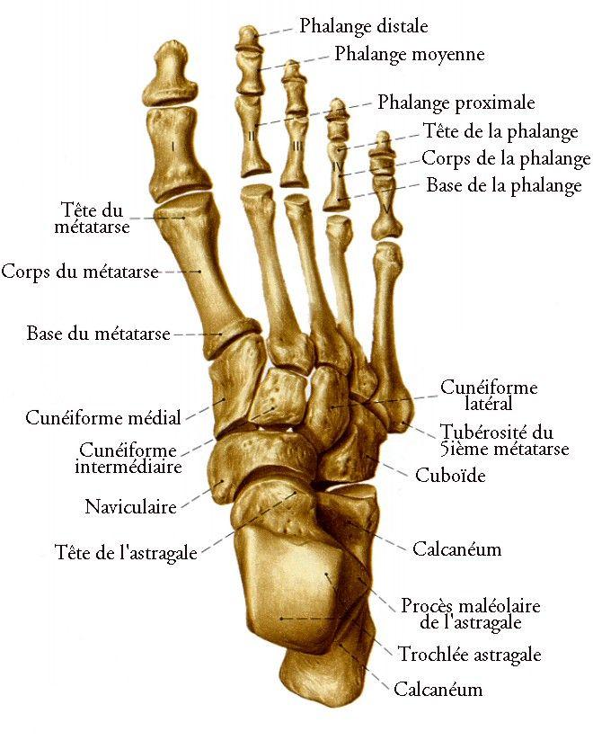 Les Os de la Jambe et du Pied - planches anatomiques. | Anatomie ...