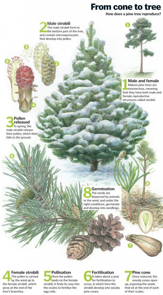Pine Tree Life Cycle From Cone To Forest How It Works Magazine Tree Life Cycle Plant Lessons Life Cycles