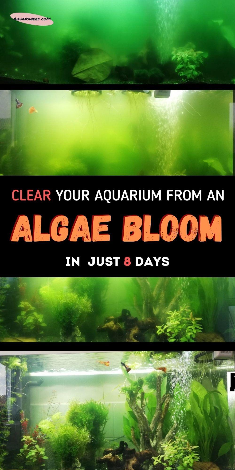 How To Get Rid Of An Algae Bloom In The Aquarium In 2021 Fish Tank Bloom Beautiful Fish